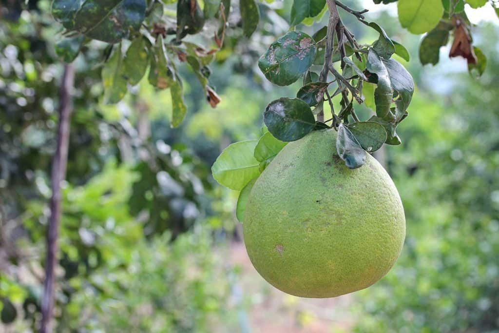 Pomelo herb fruit on tree