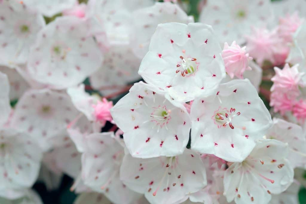 Pretty mountain laurel flowers photographed up close