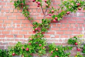 Read more about the article Which Fruit Trees Can You Espalier?