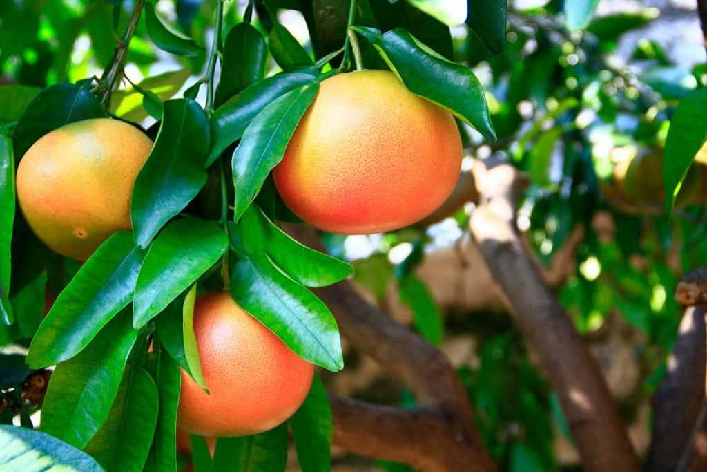 Ripe grapefruit fruits on the tree