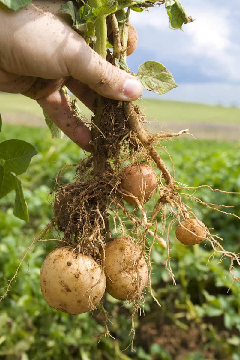 Root potato with mature tubers