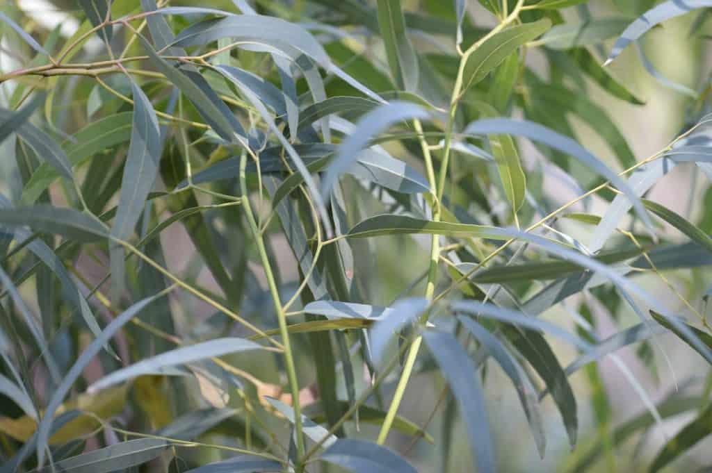 Spinning Gum (Eucalyptus Mannifera)