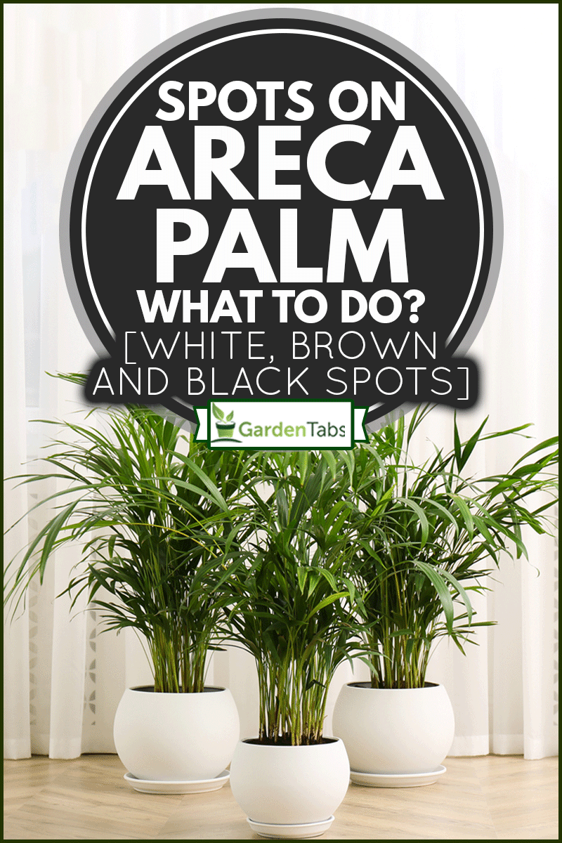 Beautiful indoor areca palm plants on floor in room, Spots On Areca Palm - What To Do? [White, Brown And Black Spots]
