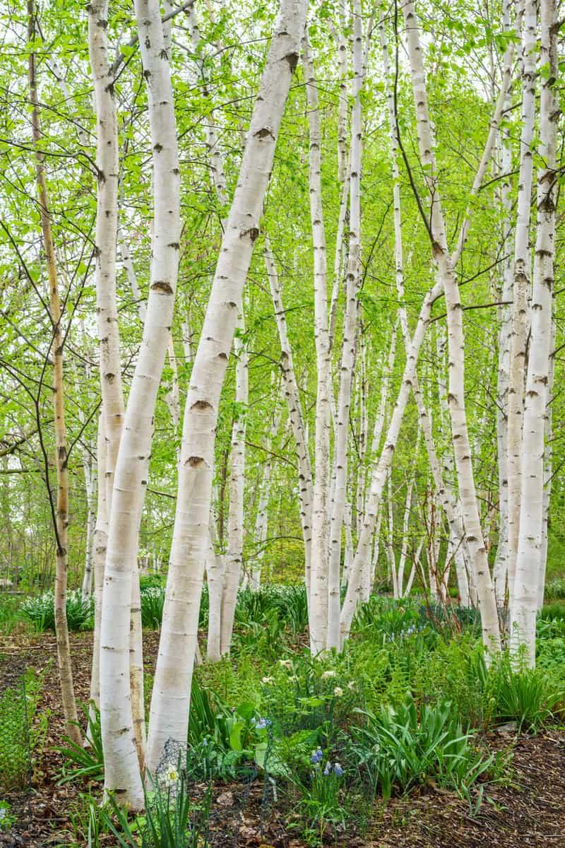 Stand of paper birch (binomial name: Betula papyrifera) in spring, Madison, Wisconsin, USA