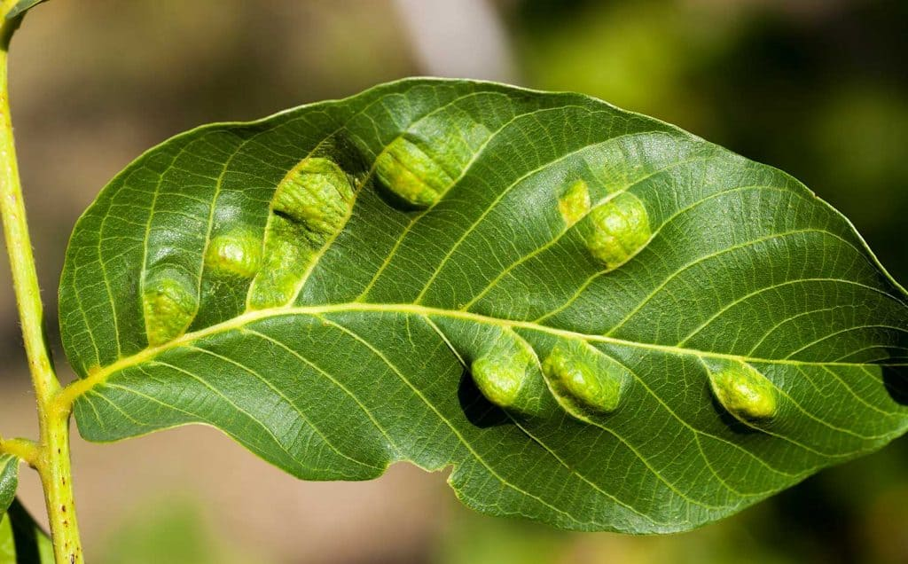 Struck foliage walnut mites from which the walnut begins to deteriorate