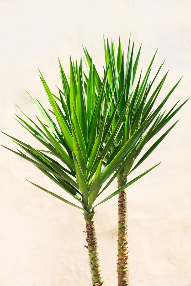 Vibrant Yucca Houseplant Against Old White Wall