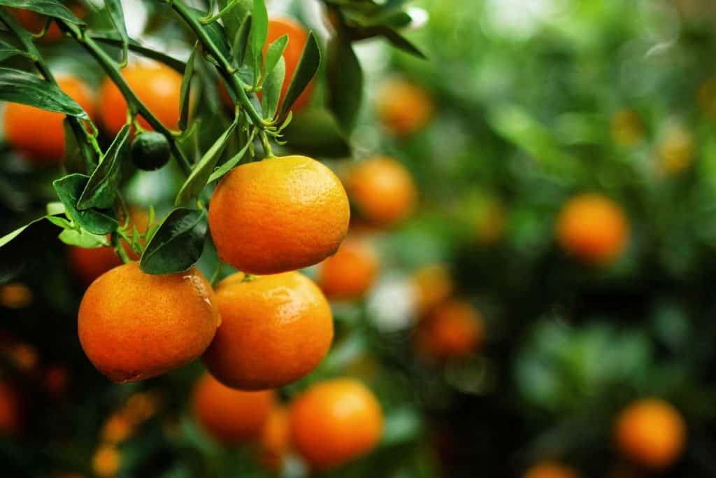 View on a branch with bright orange tangerines on a tree