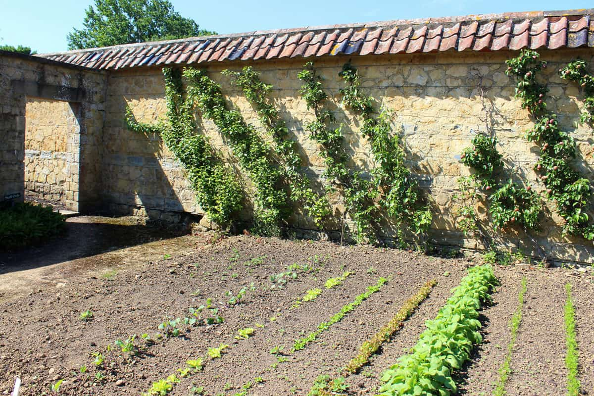 Walled kitchen-garden growing vegetables, lettuces, radishes, carrots, cordon apple trees