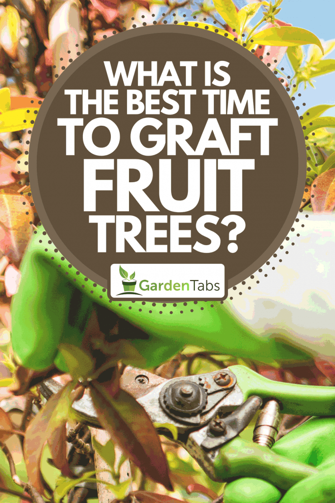 A farmer engrafting fruit trees, What Is The Best Time To Graft Fruit Trees?
