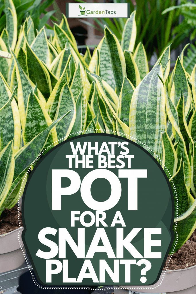 A group of tall gorgeous snake plants planted on gray plastic pots, What's The Best Pot For A Snake Plant?