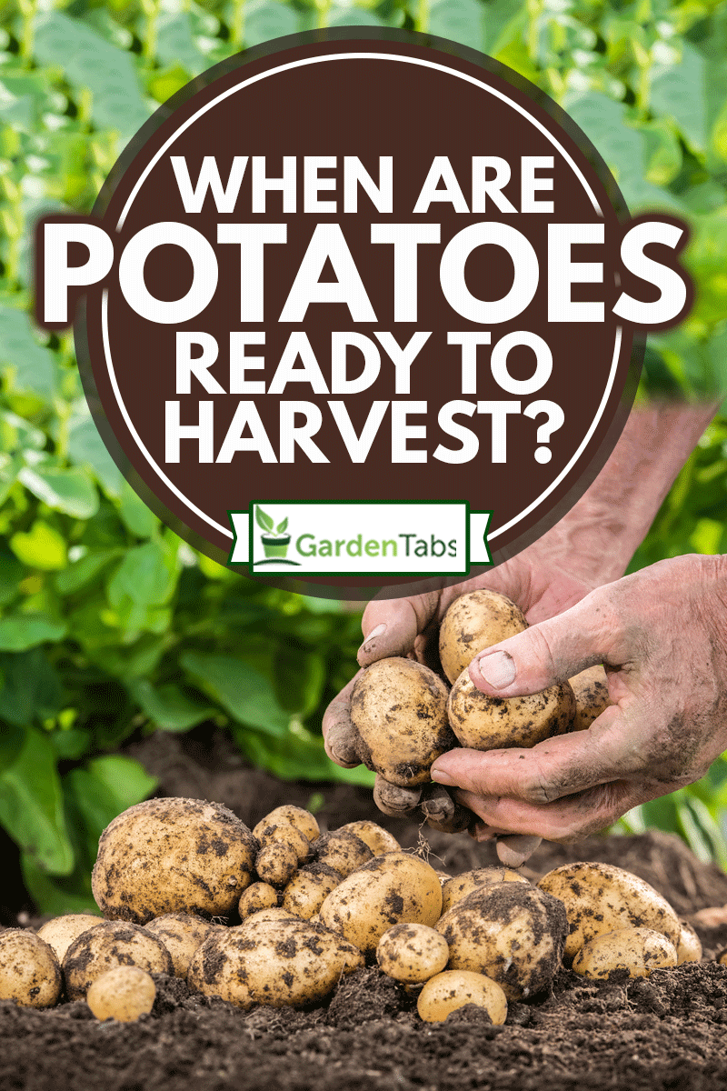 When Are Potatoes Ready To Harvest?, Hands harvesting fresh organic potatoes from soil