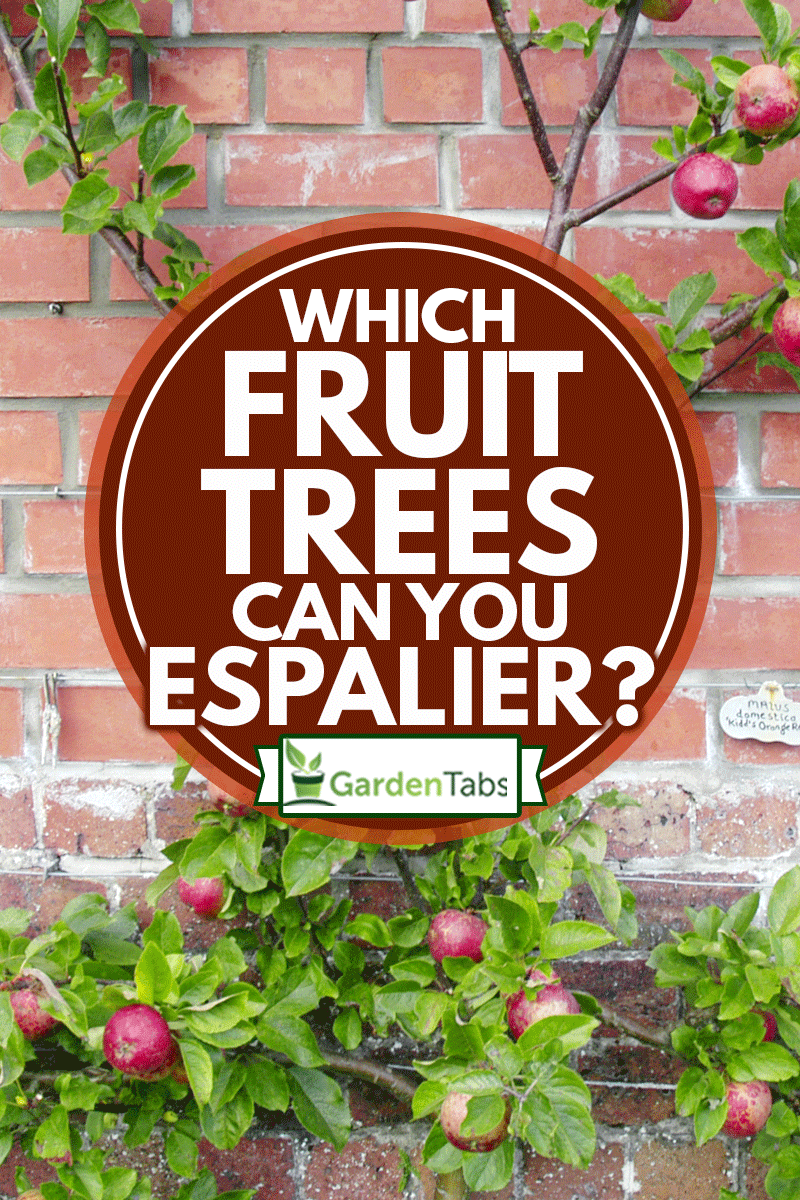 Red, ripe, apples espalier on a garden wall are ready to be picked, Which Fruit Trees Can You Espalier?