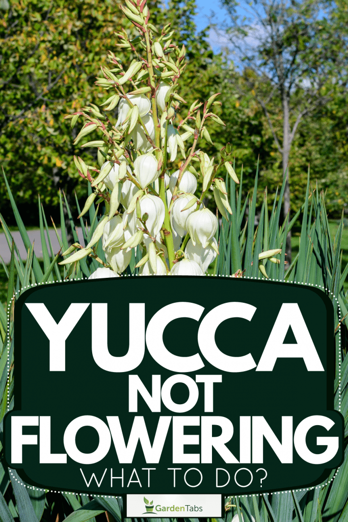A Yucca plant blooming outside a garden, Yucca Not Flowering - What To Do?