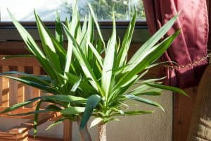 Does A Yucca Plant Need Full Sun?