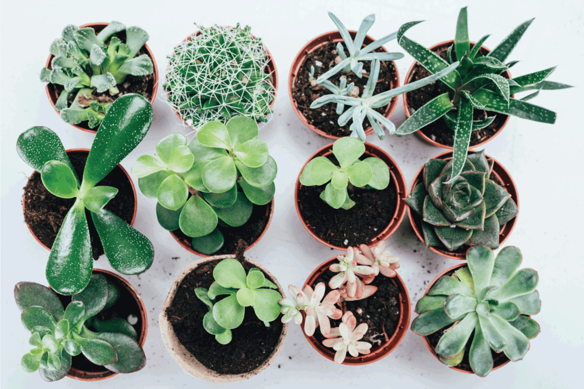 beautiful green succulents plants in pots on grey. Can Succulents Die From Too Much Rain