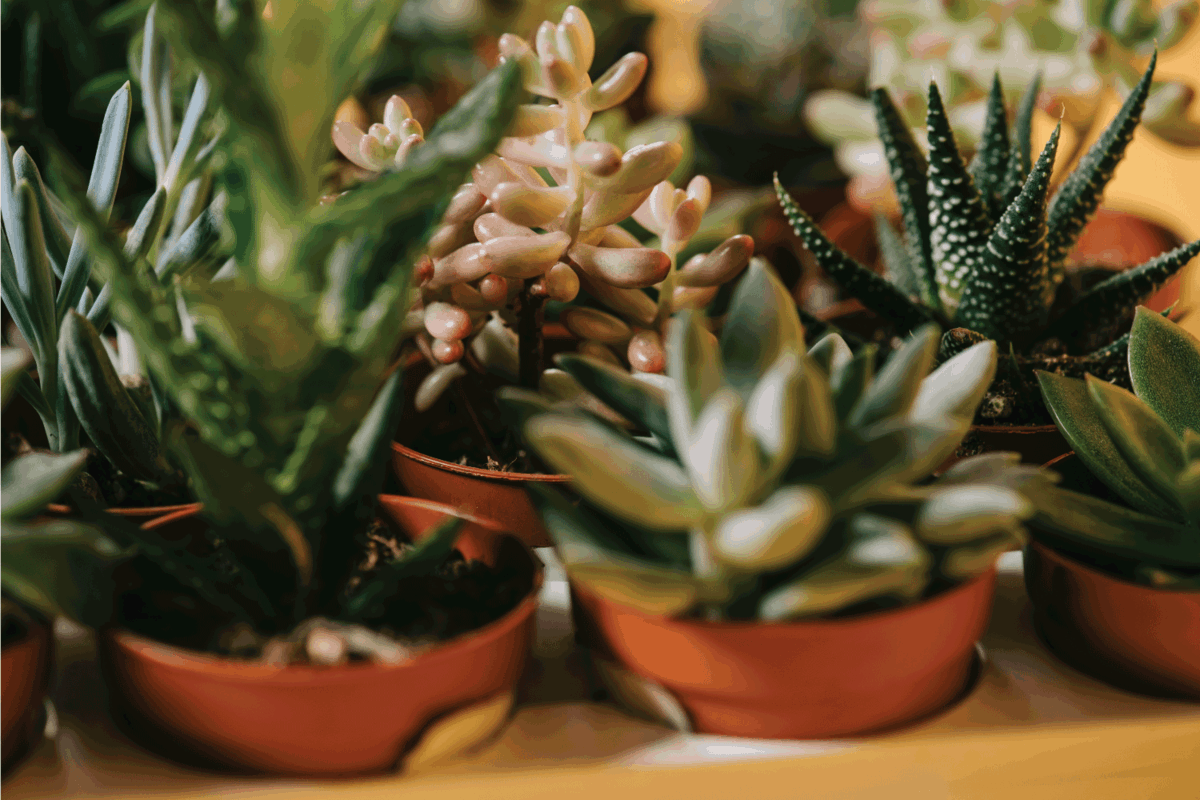 beautiful various green succulents in pots on yellow