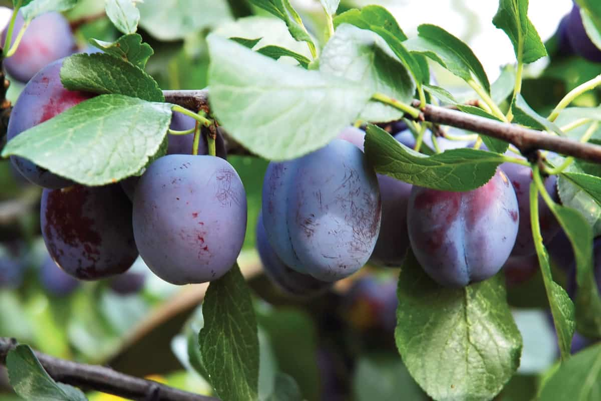 fresh plums hanging from its branches