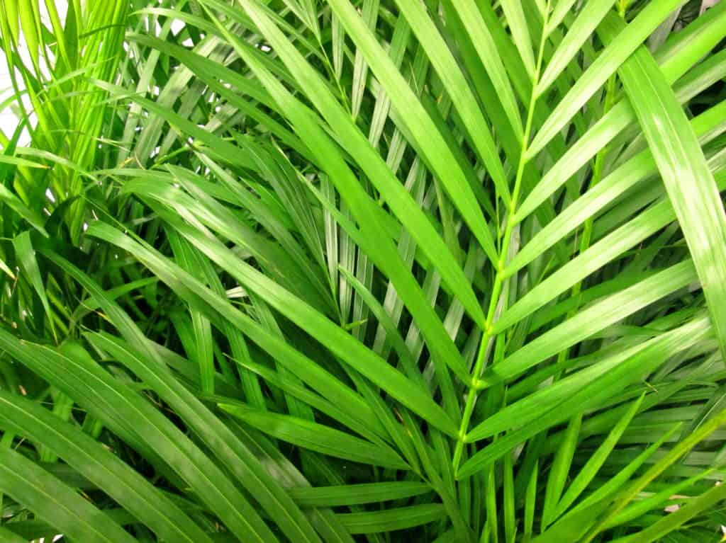 green leaves / fronds of a potted Areca palm houseplant. The Latin name for this plant is: Chrysalidocarpus lutescens.
