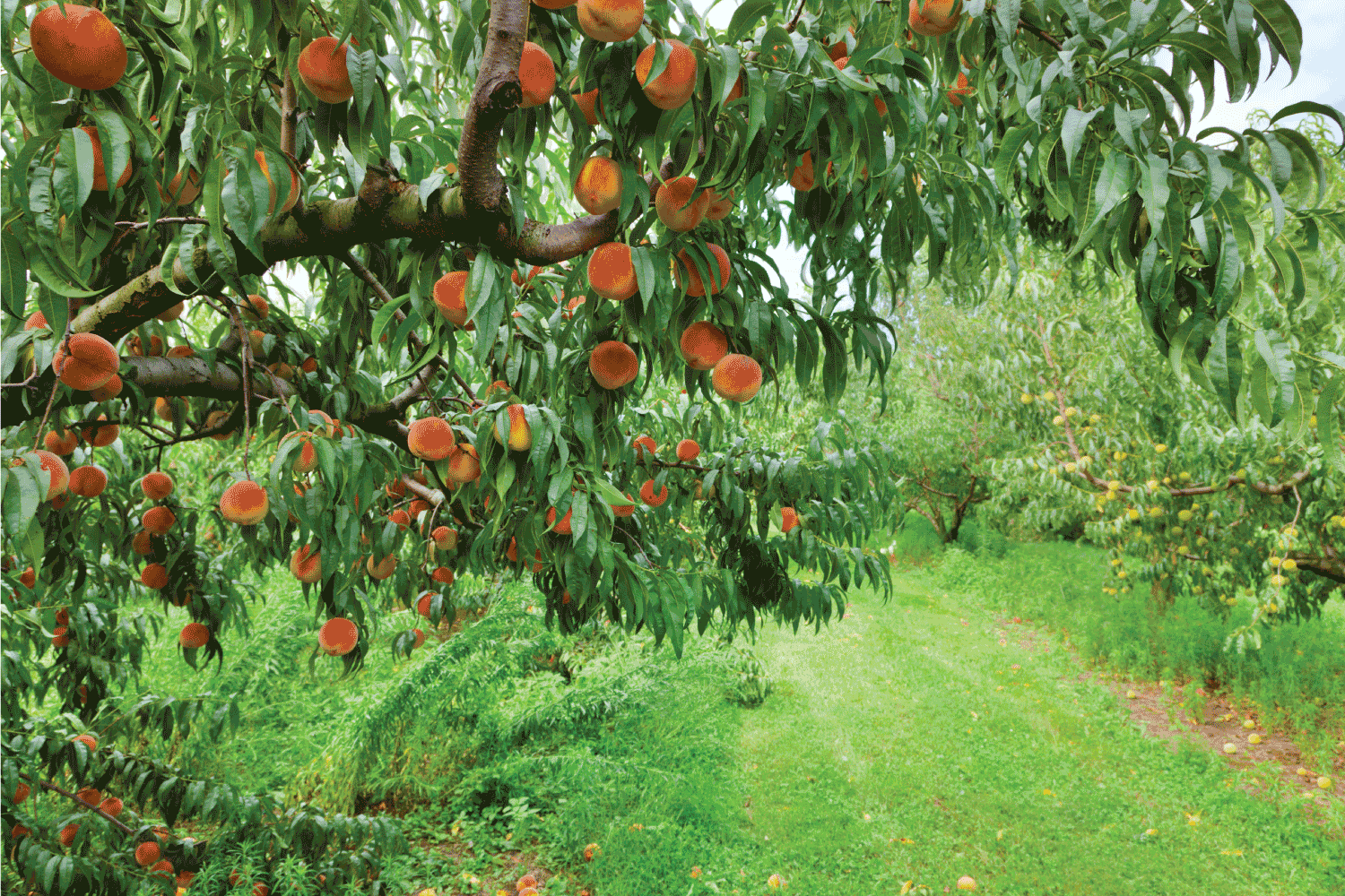 peach tree brunch with ripe fruit at an orchard