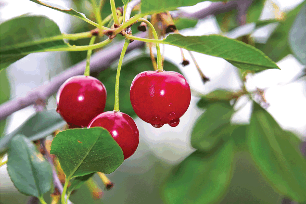 sour cherries after the rain.