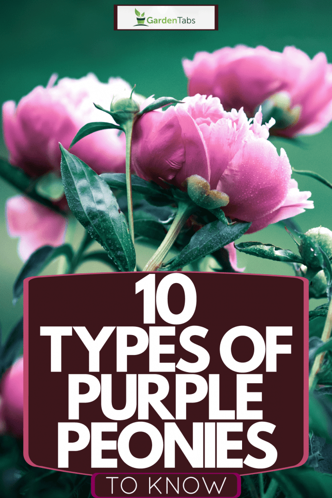 Newly bloomed purple peonies photographed on the garden, 10 Types Of Purple Peonies To Know
