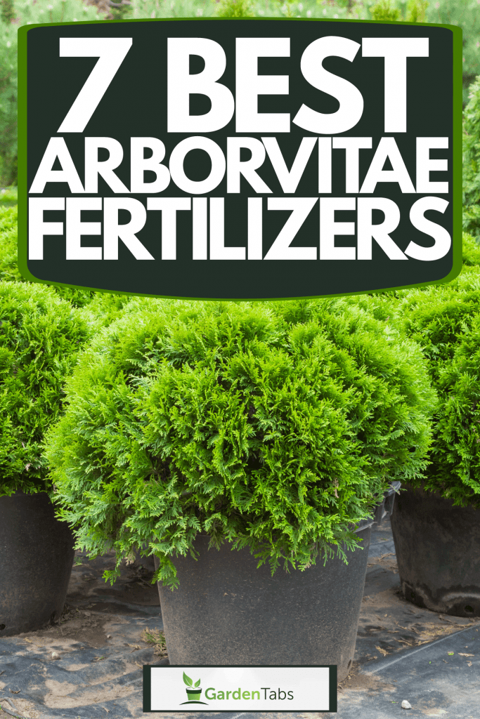 Untrimmed arborvitae planted on pots for display on the garden, 7 Best Arborvitae Fertilizers
