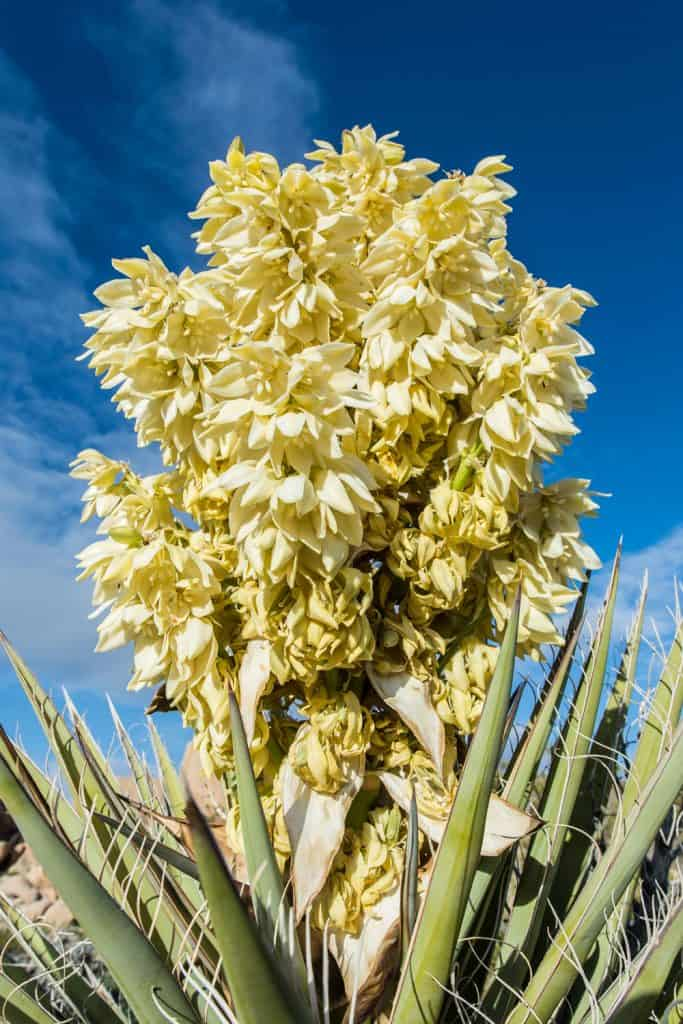 A Mojave yucca planted on the back of the garden with flowers blooming under the blue sky
