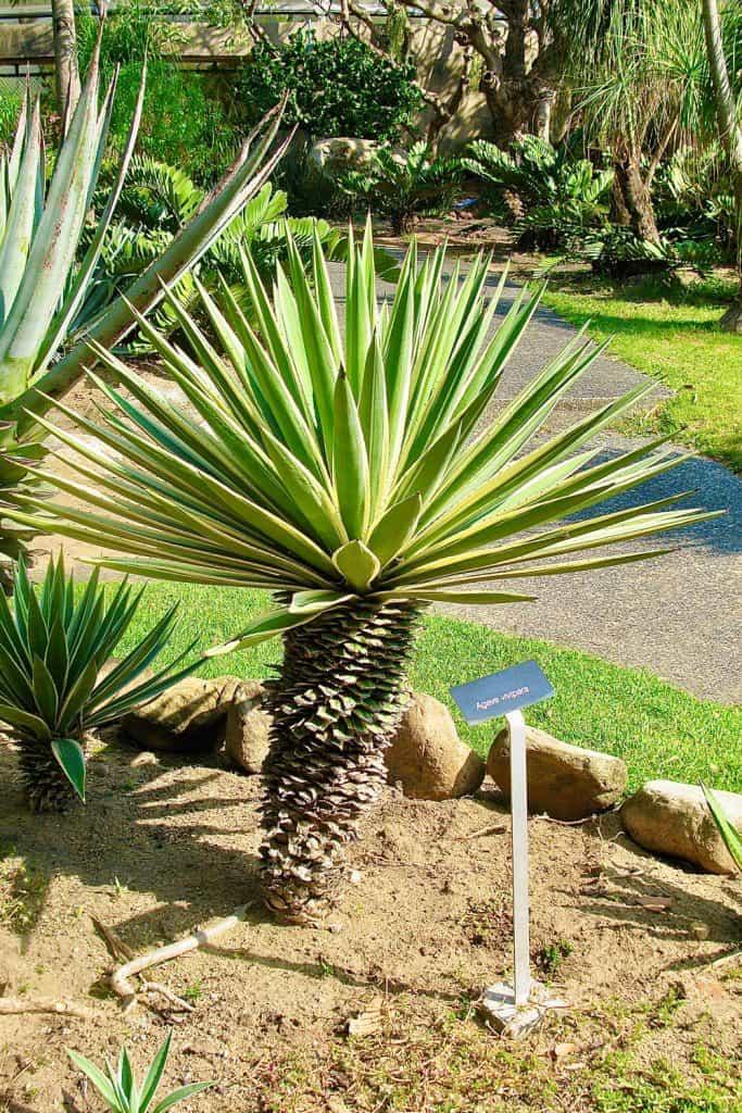 A Yucca aloifoloia also known as a Spanish bayonet