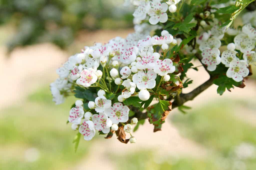 A beautiful blooming Hawthorn blossom photographed on the garden