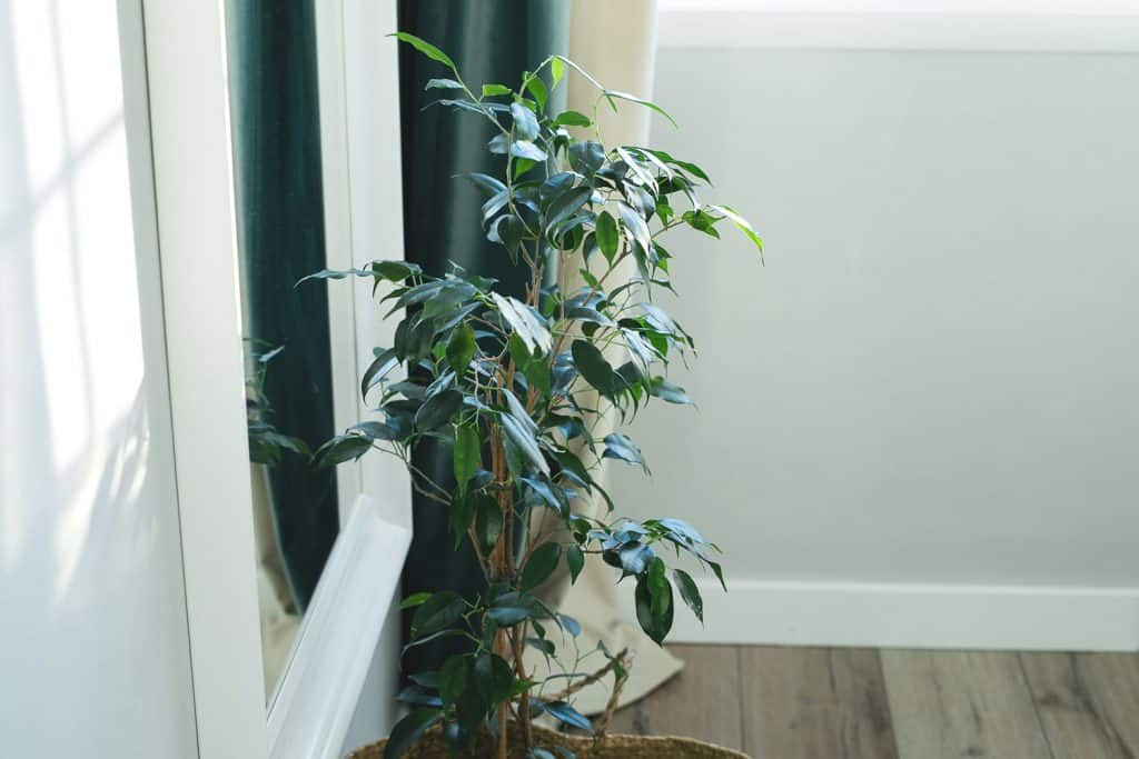 A beautiful indoor Benjamin Ficus plant on a wicker basket on the side of a living room