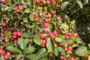Read more about the article Do Crabapple Trees Have Invasive Roots?