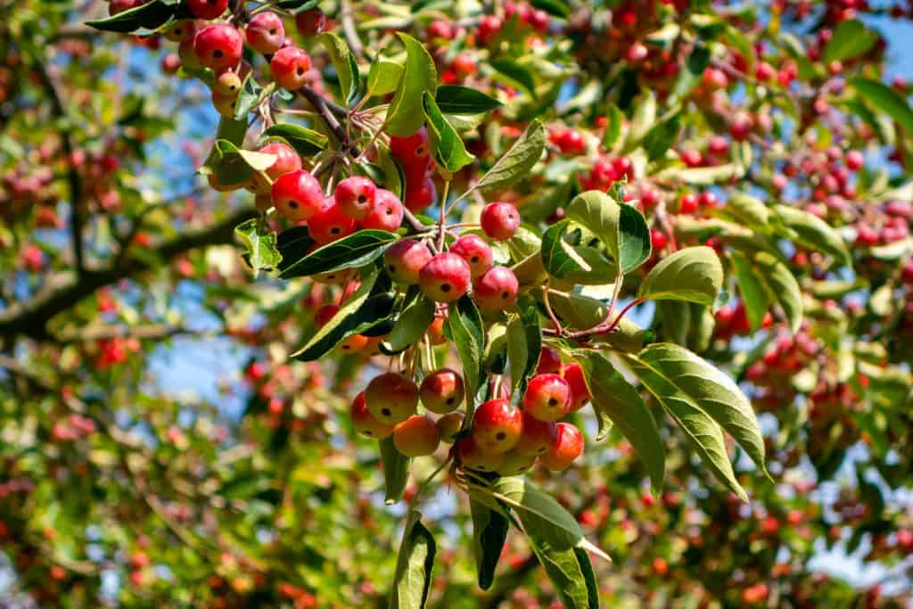 A crabapple tree photographed on a sunny day