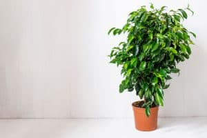 Read more about the article How Much Light Does A Weeping Fig Need?