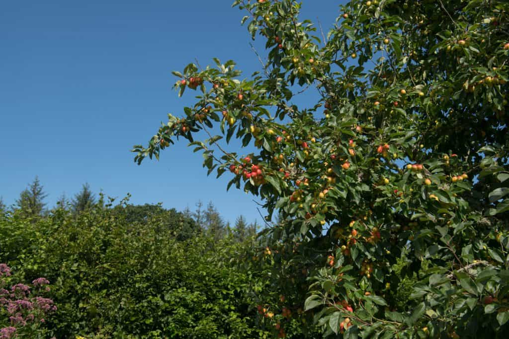 A huge crabapple tree with visible berries growing on the branches