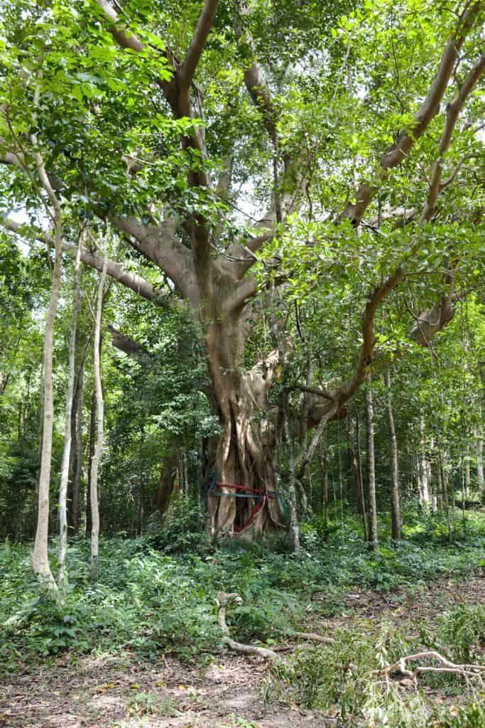 A huge ficus tree photographed with lots of vegetation