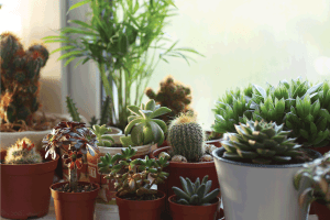 A lot of pots with cacti and succulents on the windowsill. Can Succulents Die From Too Much Rain