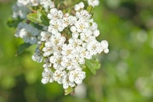 Read more about the article When Should You Cut Back Hawthorn Trees?