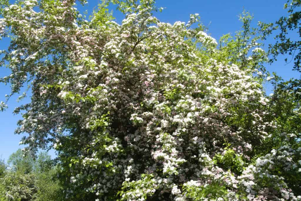 A tall Hawthorn tree blooming gorgeously on a sunny day