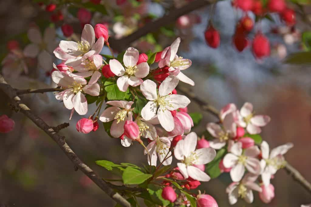 An up close photo of a Japanese crabapple tree with blooming flowers