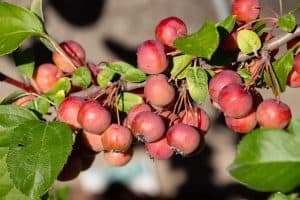 Read more about the article 7 Best Fertilizers For Crabapple Trees