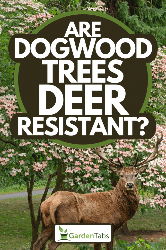 A deer with dogwood tree on the background, Are Dogwood Trees Deer Resistant?