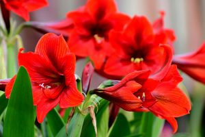 Read more about the article Should You Deadhead Amaryllis? [And How To]