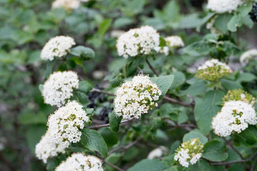 Bloody dogwood white flowers