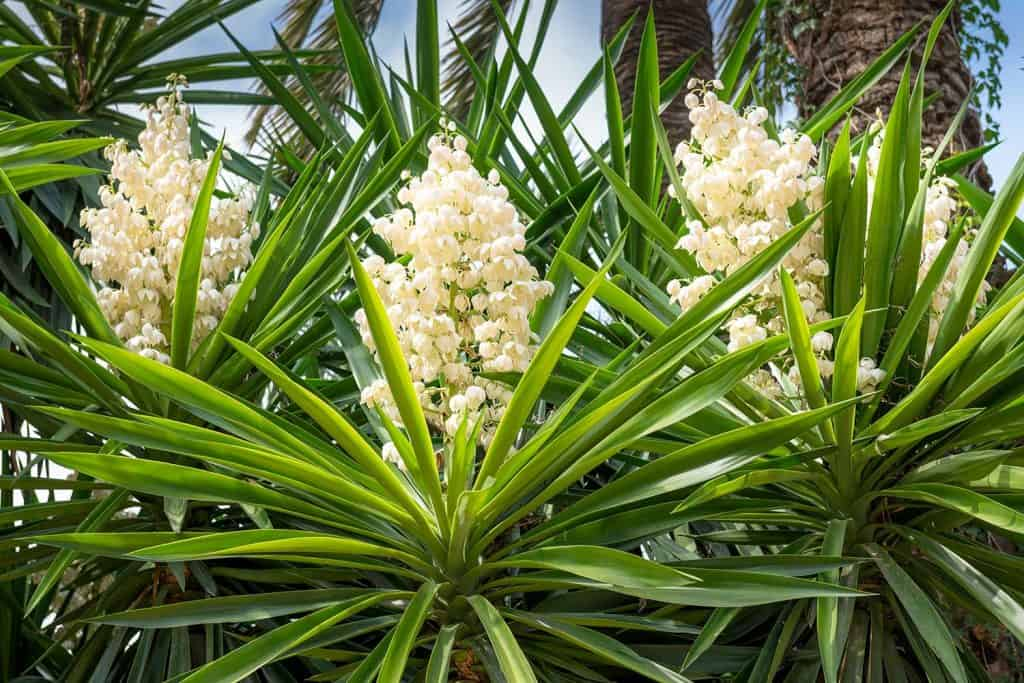 Blooming Yucca palm tree