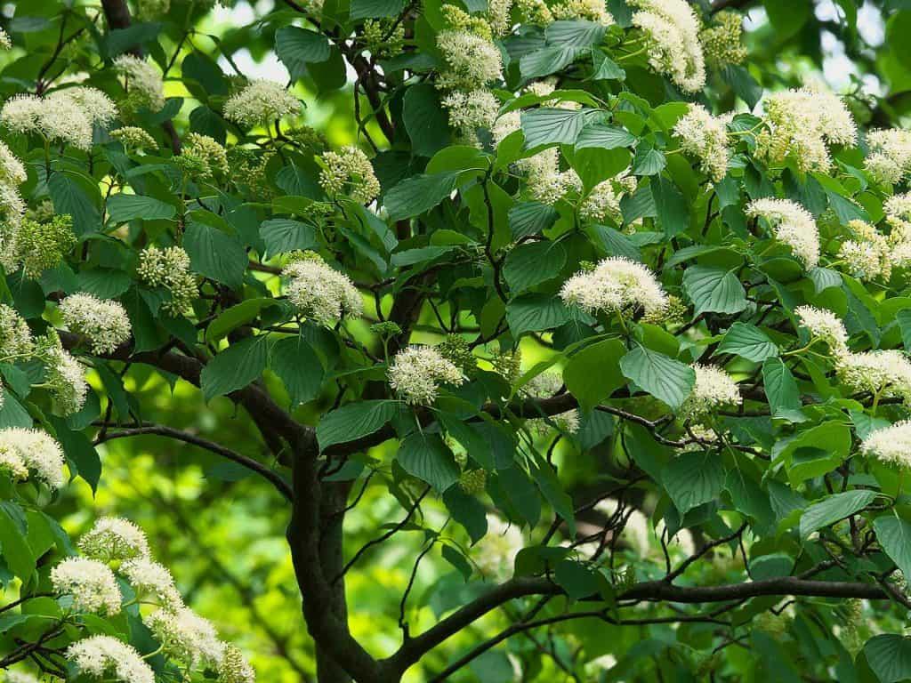 Blooming alternate leaved dogwood tree
