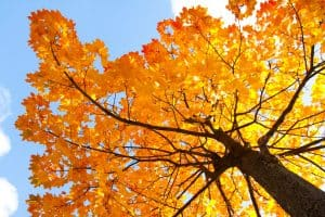 Read more about the article Does Tapping A Maple Tree Hurt It?