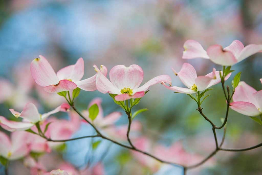 Branch of eastern pink dogwood trees in bloom in the spring