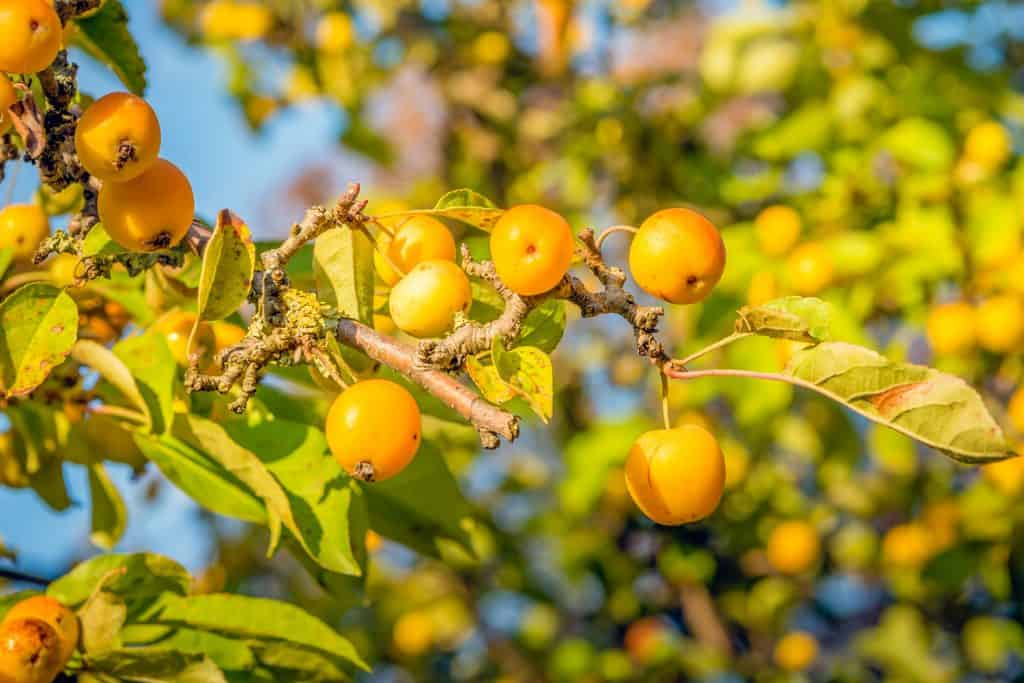 Branch with many ripe yellow crab apples on a sunny day in the fall season.