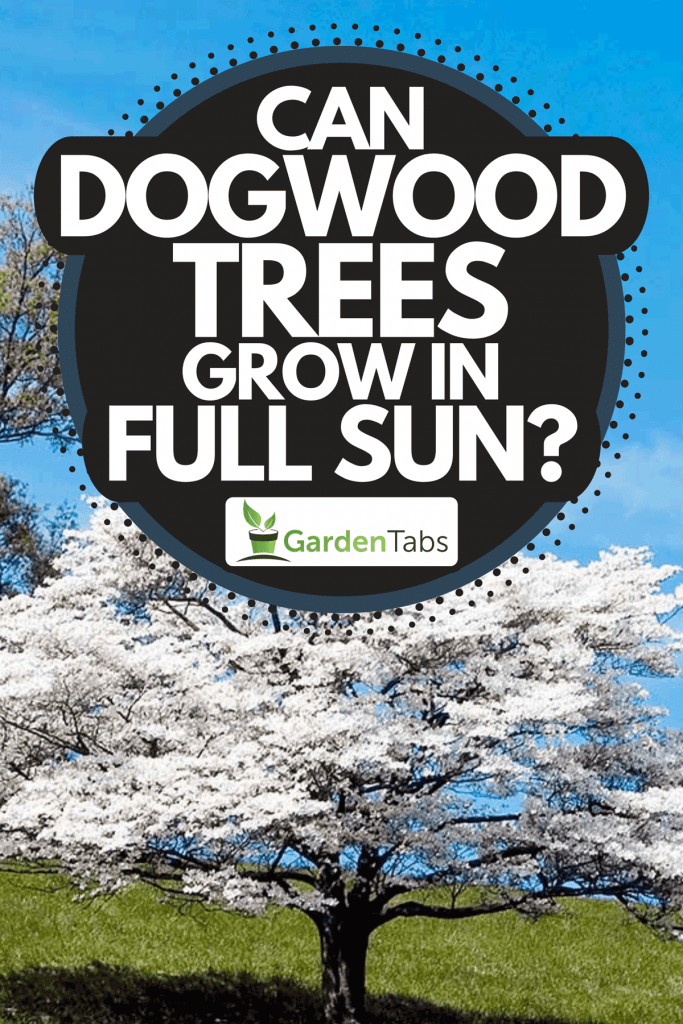 A dogwood tree in full bloom with blue sky on the background, Can Dogwood Trees Grow In Full Sun?