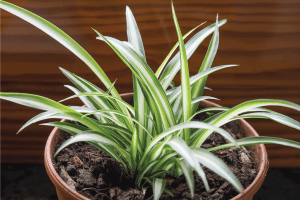 Read more about the article What's The Best Pot For A Spider Plant?